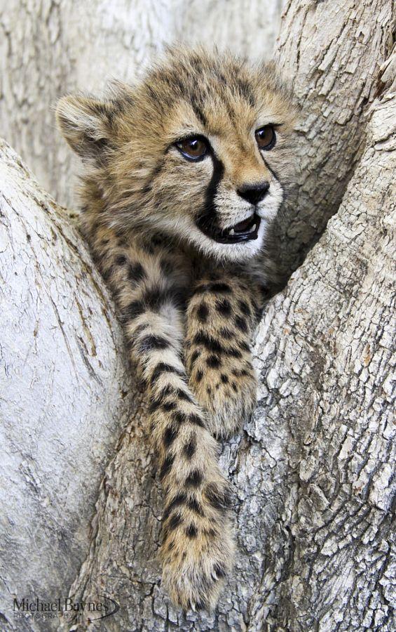 criaturas vivas: Cheetah Cub por MichaelBaynesPhotography