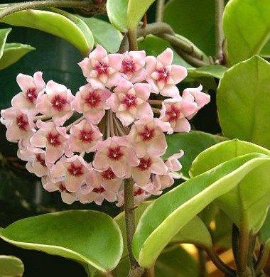 Hoya - Asclepiadaceae - Come curare e coltivare le piante di Hoya