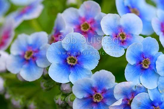 Chatham Island Forget-me-not flowers, Kopakopa,
