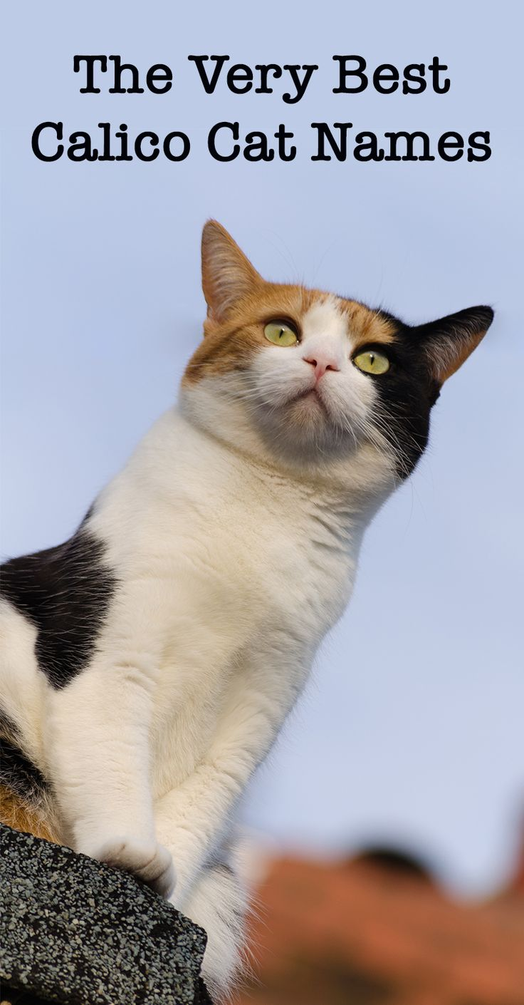 Calico Cat Names 250 Great Ideas For Naming Your Calico
