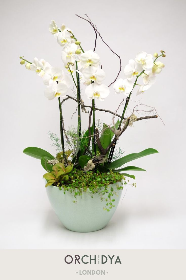 Magnificent Majestic White Orchids Will Look Fantastic In Any Environment Myfloristorchidya Fresh Flowers Arrangements British Flowers Flowers Photography