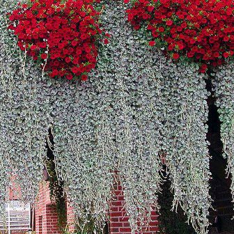 1000 Images About Cascading Fountain Plants On Pinterest