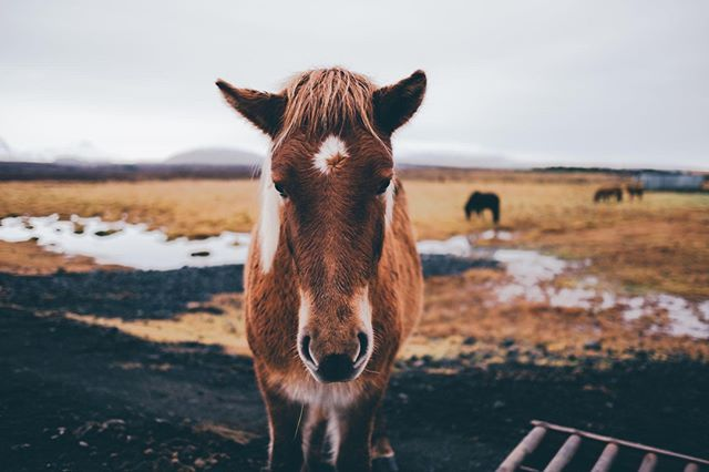 Photo by Chio Fernandez   X-Pro2   XF23mmF1.4 R   F1.4   1/250sec   ISO100 @chiophotography #xpro2 #animals #islandichorse #horses #pony #iceland