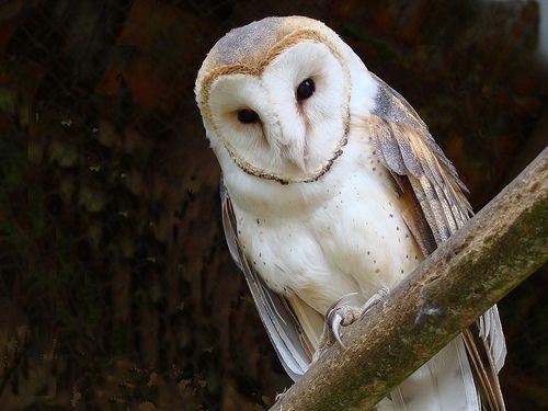 Coruja.Barn Owl. Coruja de Igreja.