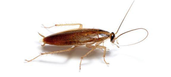 Piège écologique pour cafards et blattes. fabriquer soi-même un piège écologique contre les cafards. Fabriquer aussi son insecticide anti cafard et blattes