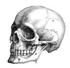Antique medical scientific illustration high-resolution: skull profile illustration