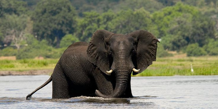 See the magnificent Chobe elephant on a Chobe Day Tour