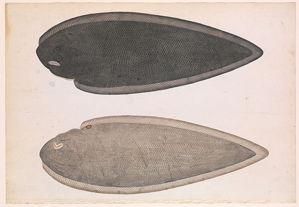"Two Sides of a Bengal River Fish, ca. 1804. Islamic culture. The Metropolitan Museum of Art, New York. Louis E. and Theresa S. Seley Purchase Fund for Islamic Art, 2004(2004.176) | This work is exhibited in the ""Company School Painting in India(ca.1770-1850)"" exhibition, on view through September 16,2016."