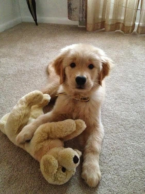 Golden Retriever pup and his pup!