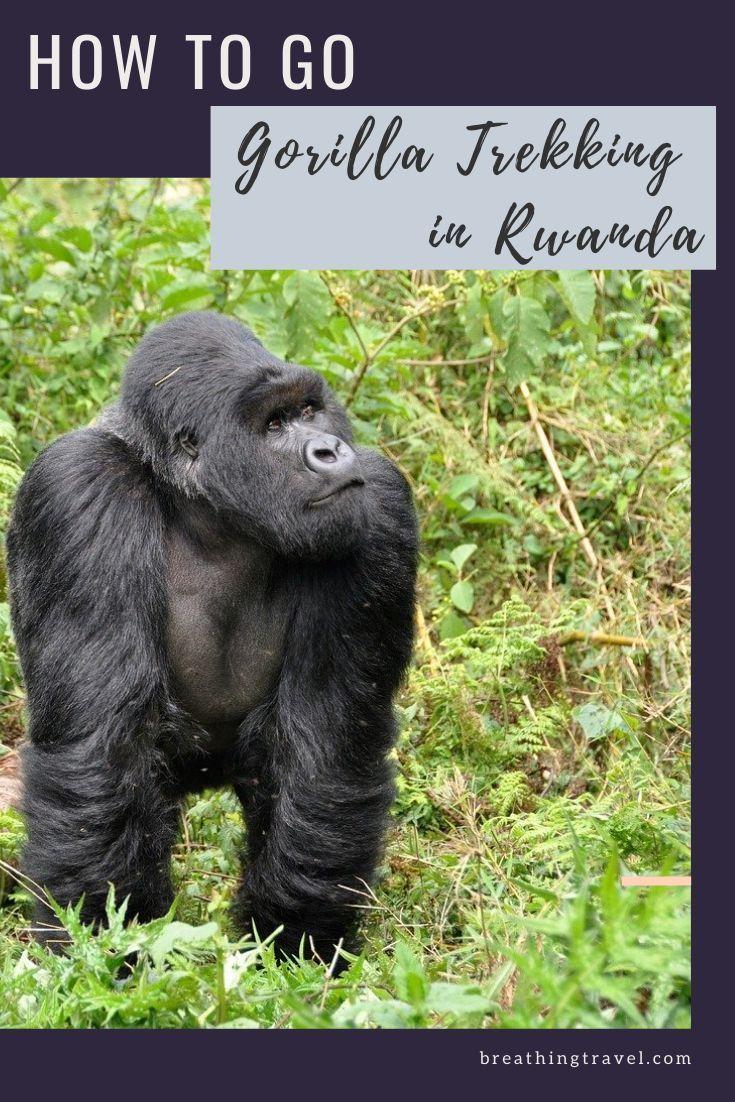 How To Go Gorilla Trekking In Rwanda In 2020 Gorilla Trekking