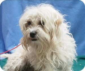 Portland, OR Lhasa Apso Mix. Meet Kellogg, a dog for
