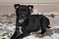 Marlow puppy - Border Collie pet adoption in Scranton PA #dogadoption