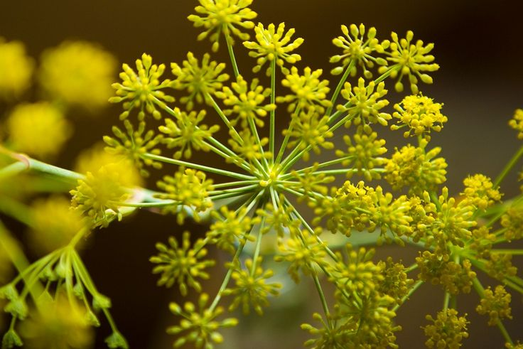 The glorious yellow of fennel flowers