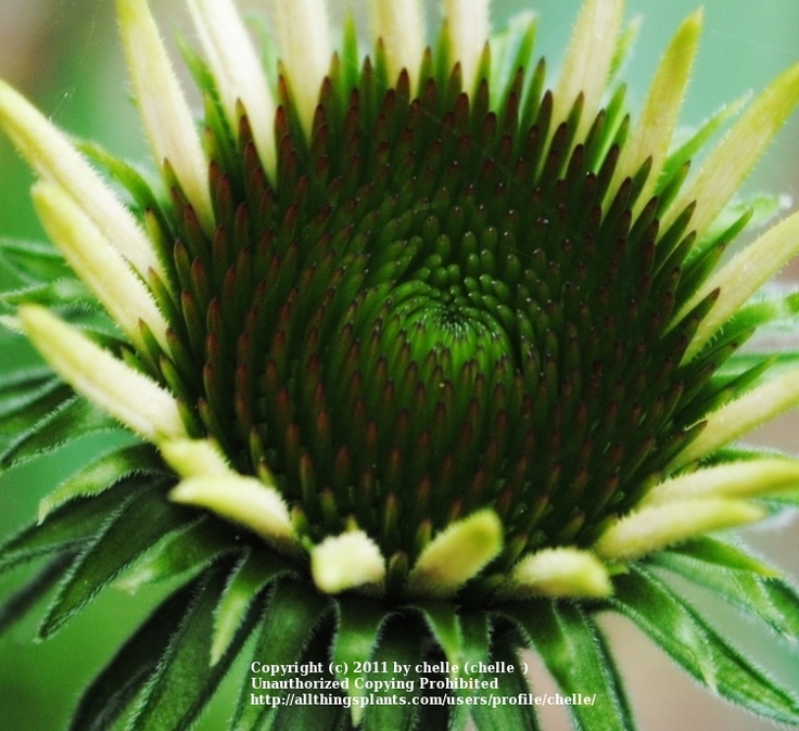 114 Best Echinacea And Bee Balm Images On Pinterest