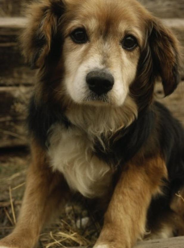 Little guy cross between beagle/golden retriever