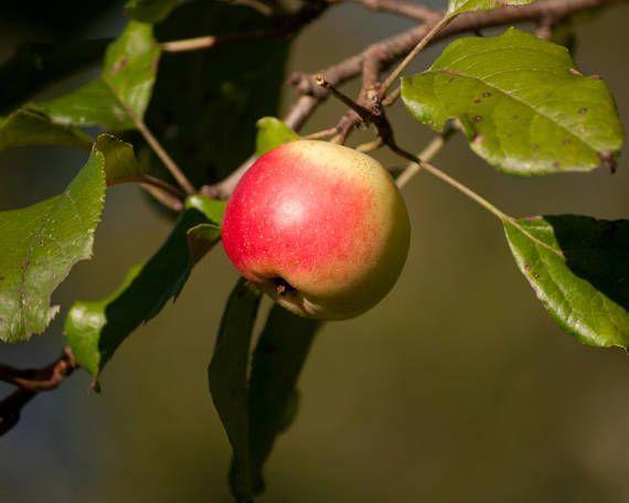 Red Apple Print Apple PhotographyFine Art
