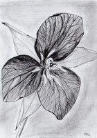 /album/potlood-tekeningen/boslelie-jpg2/