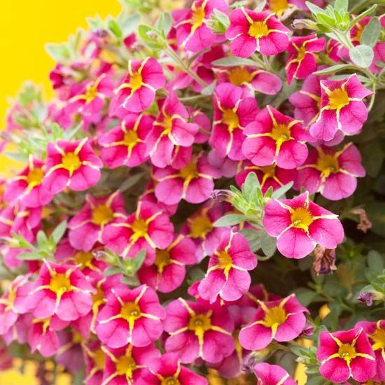 This new Superbells Cherry Star Calibrachoa features loads of pink and yellow blooms.
