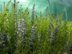 Herbal Haven - Vipers bugloss