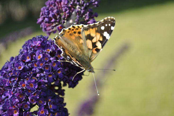 Sommerfuglbusk - Butterflybush   http://lonnisverden.blogspot.dk/2015/08/man-skal-yde-for-at-kunne-nyde.html