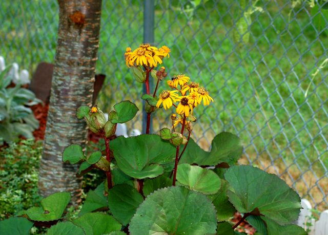 Leopard Plant a Colorful Choice for Shady Spots: Leopard plant likes shady conditions and moist soil.