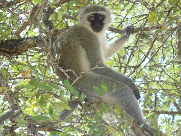 Vervet monkey. Kruger National Park, South Africa 2009.