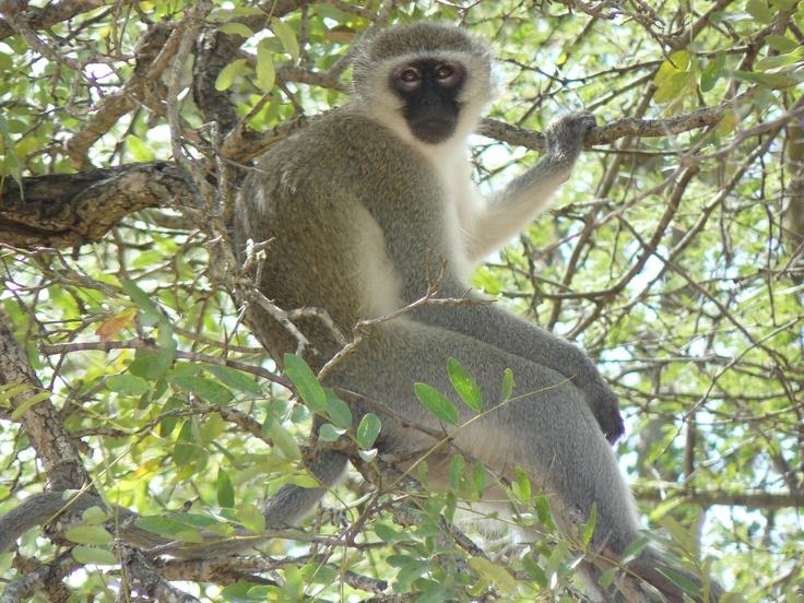 Vervet monkey. Kruger National Park, South Africa 2009.