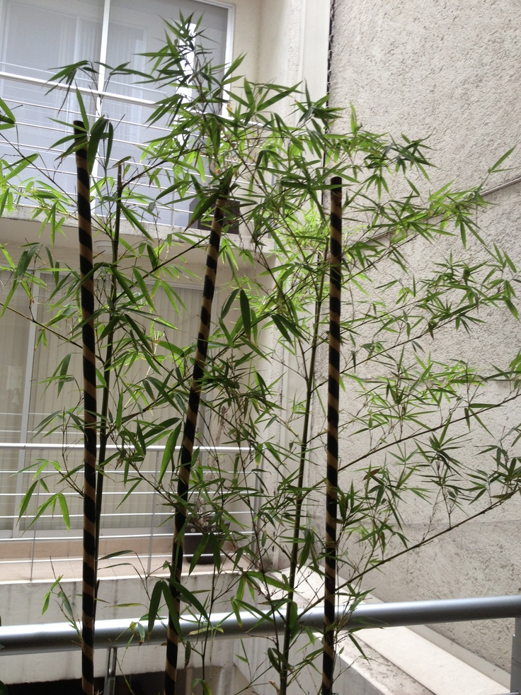 bamb planta decorativa para exteriores ceiba artnature