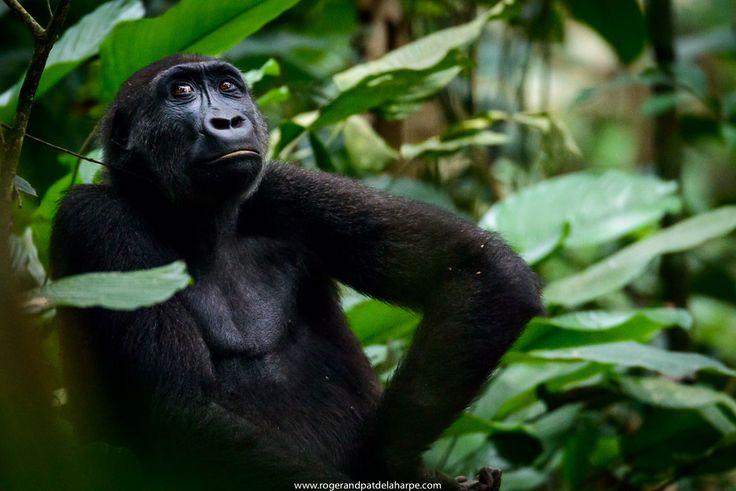 Western Lowland Gorilla living in Odzala in the Congo Basin