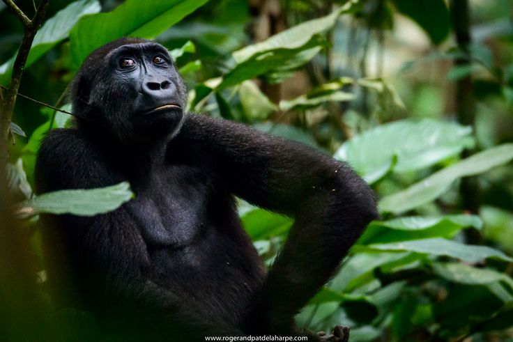 Western Lowland Gorilla living in Odzala in the Congo Basin