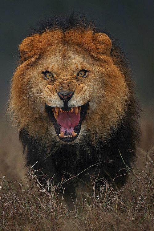 Pictures of Fierce Lion Roar - #rock-cafe