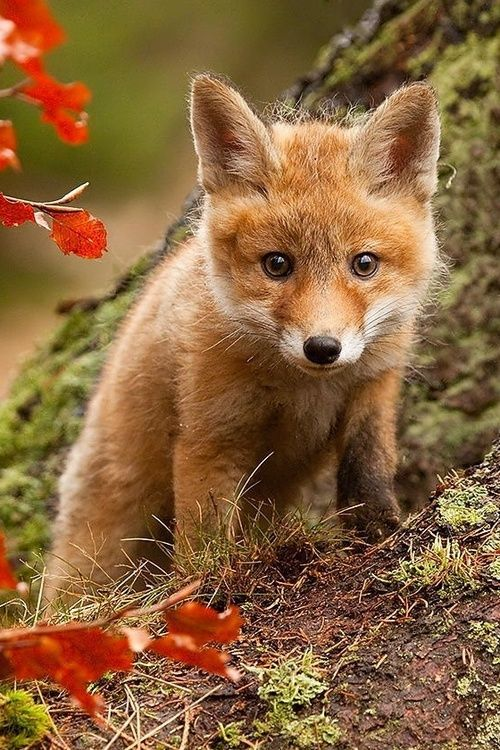 Cute baby fox | Animals | Pinterest | Foxes, Baby Foxes ...