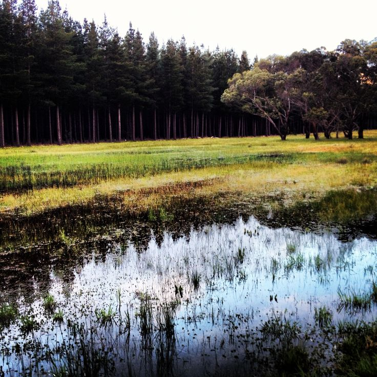 On the Edge of the Pine Forest, Spring in the Limestone Coast South Australia; image by Margaret Hage.