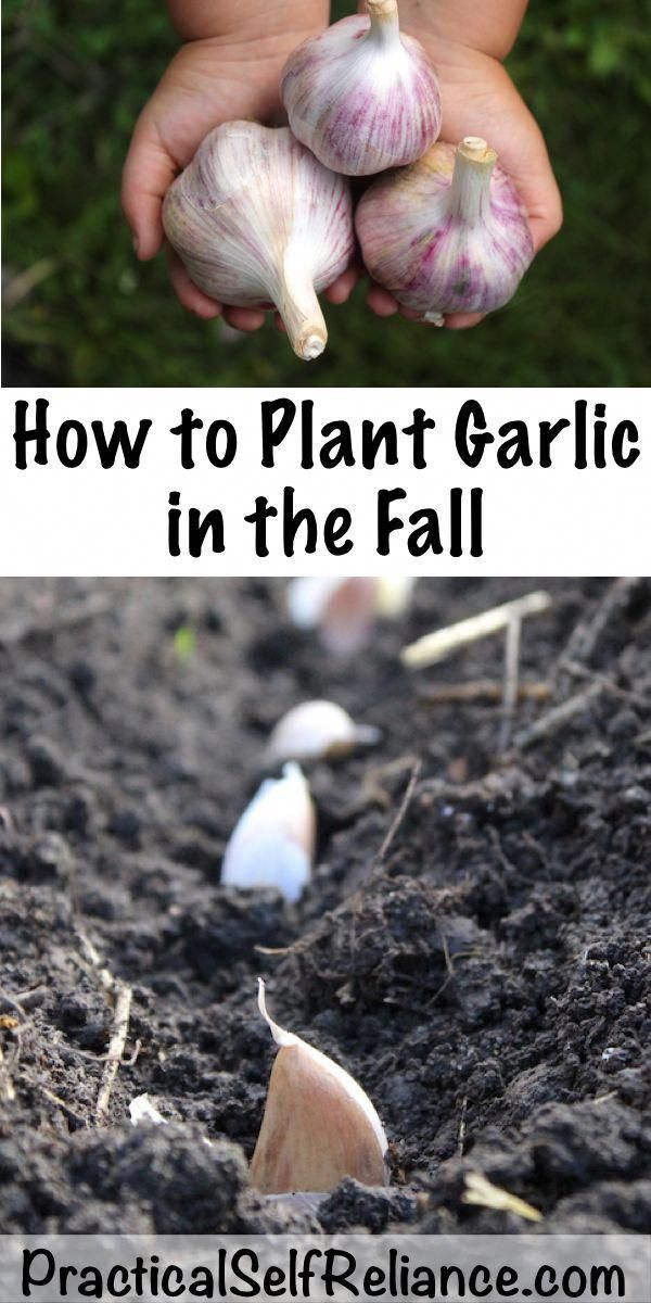 How to Plant Garlic in the Fall ~ Growing Garlic ~Fall ...
