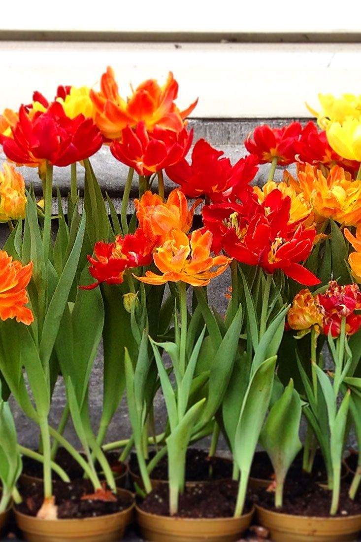 The Tulip Museum in Amsterdam // Things to do in Amsterdam, Netherlands