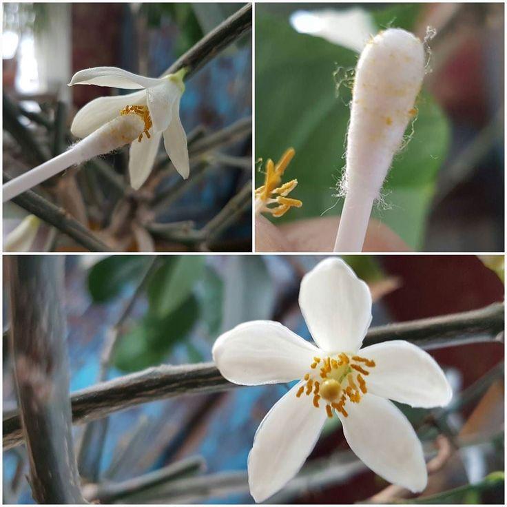 Blommor på citrusträdet? Ta det säkra före det osäkra och agera pollinerare  Använd tops eller en fin pensel och fånga det pudriga pollenet hos en blomma och dutta vidare i nästa blomma. @citrus #indoorgardening #inomhusodling #flowers #propagation #wexthuset