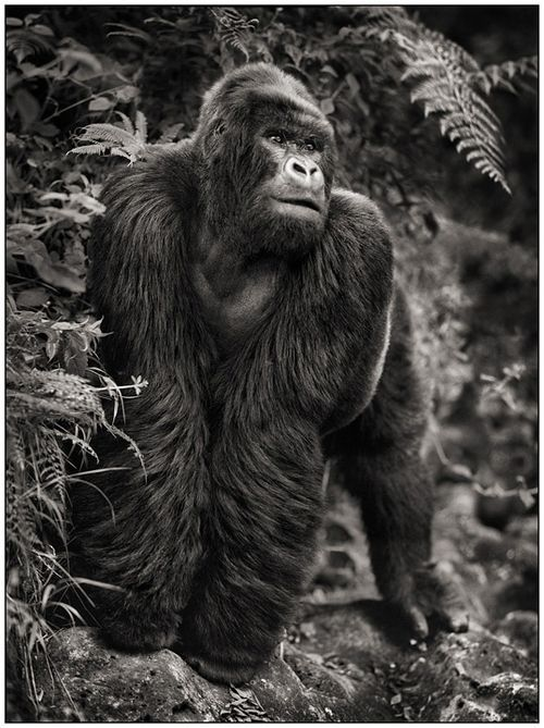 Gorilla On Rock by Nick Brandt: Photos, Animal Photography, The Artists, Nick Brandt, Wildlife, Gorilla, Nickbrandt, Africa, Rocks