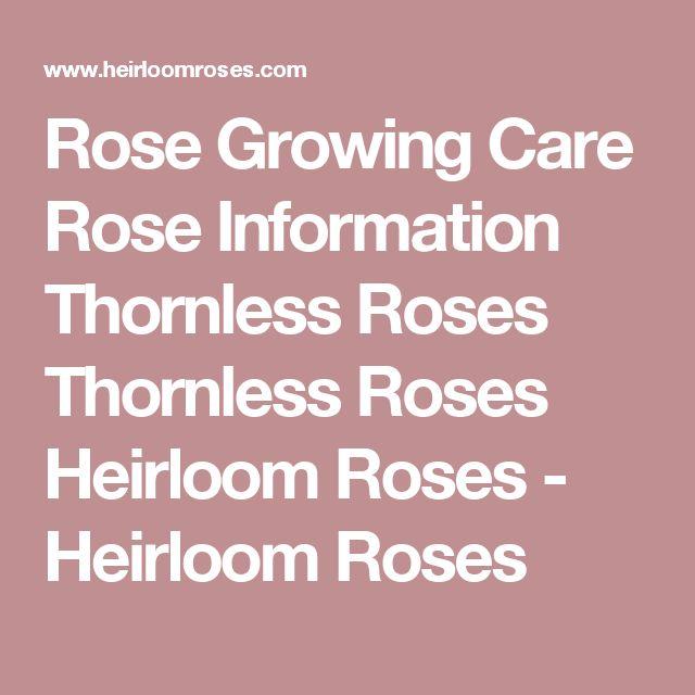 Rose Growing  Care  Rose Information  Thornless Roses Thornless Roses Heirloom Roses - Heirloom Roses