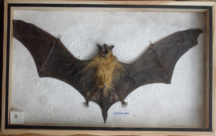 REAL HAIRLESS BAT Insect Taxidermy in wooden box by THAICRAFT4YOUDOTCOM on Etsy https://www.etsy.com/listing/171015107/real-hairless-bat-insect-taxidermy-in