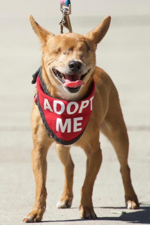 Mr. Magoo Adoptable dogs Pinterest Chihuahuas, Cas