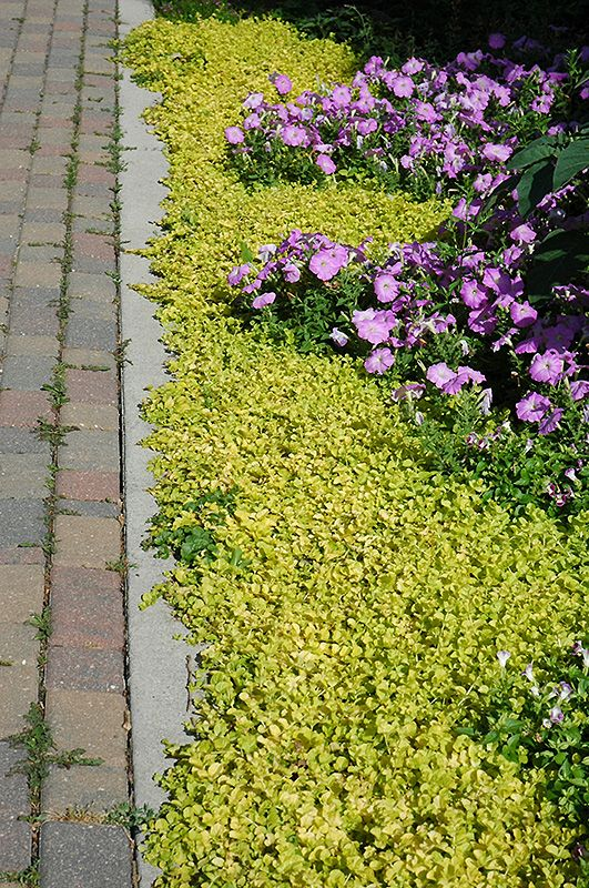 The 25 best lysimachia nummularia ideas on pinterest for Low maintenance perennials for shade