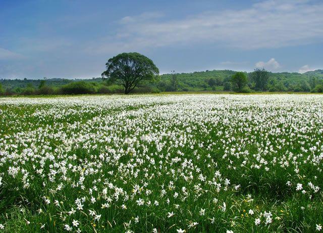 Долина нарциссов- уникальный Карпатский биосферный заповедник. Находится в Закарпатье, всего в 6км от г. Хуст, в заповедном урочище Киреши. Каждую весну, в период майских праздников, здесь расцветает целая поляна редких горных узколистых нарциссов. Полюбоваться белоснежным чудом решили и мы во время нашей поездки через Карпаты. Наш маршрут Украина- Молдова- Венгрия пролегал через Рахов и Хуст....