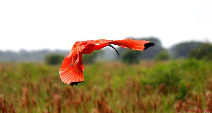 Corocora: Garza de los Llanos Orientales de Colombia