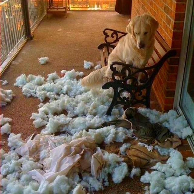 Me recuerda a mi rocco.. Exploto solito sin razón aparente...: Animals, Dogs, Stuff, Pet, Funnies, Funny Animal