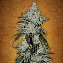 Buy Cannabis Seeds Online | Discreet Seeds Worldwide Delivery