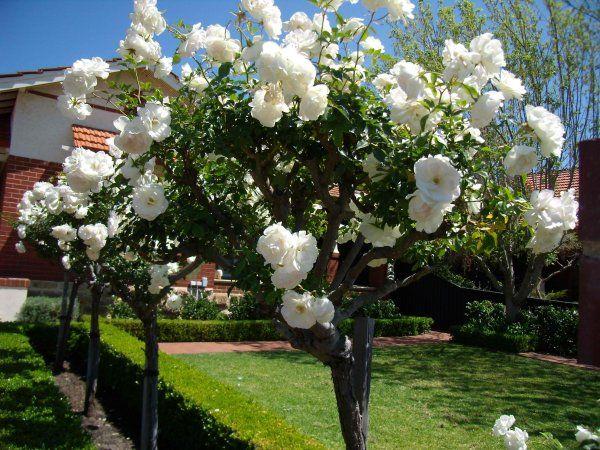 Plantarea trandafirilor la Pestre.ro