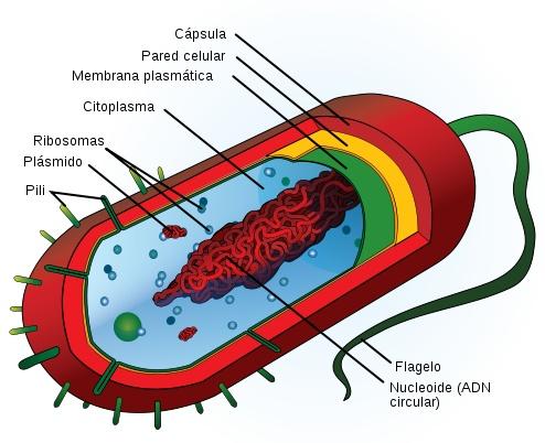 Célula Procariota: Como otros procariotas, carecen de un núcleo delimitado por una membrana, aunque presentan un nucleoide, una estructura elemental que contiene una gran molécula generalmente circular de ADN. / De la Wikipedia