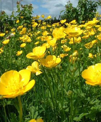 68 best buttercups images on pinterest yellow buttercup and buttercups hold under your chin if it turns yellow that means you like butter hahah oh the good old days of childhood we thought that it meant you mightylinksfo