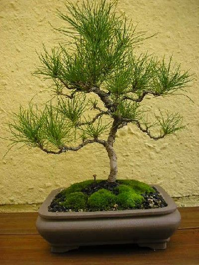 bonsai de pino radiata - Buscar con Google
