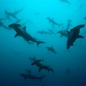 Total of 79 Potentially New Shark Species Found  A genetic analysis suggests more overlooked species than scientists anticipated, raising concerns that populations of new species are quite small and endangered